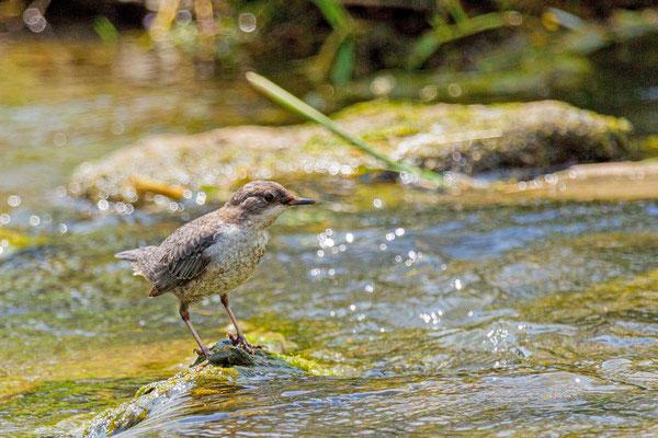 Wasseramsel (Cinclus cinclus), Jungvogel