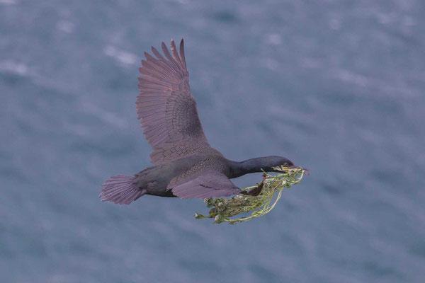 Krähenscharbe (Phalacrocorax aristotelis) im Flug mit Nitsamterial