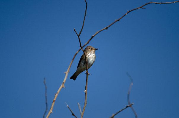 Grauschnäpper (Muscicapa striata), Foto: Viola Wege