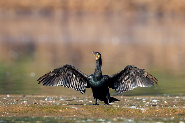 Kormoran (Phalacrocorax carbo), adulter Vogel beim trocknen des Gefieders