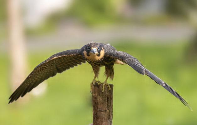 Baumfalke (Falco subbuteo), Jungvogel