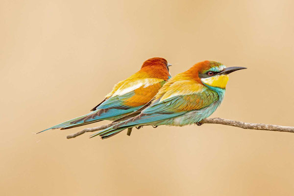 Bienenfresser (Merops apiaster), Paar sitzend