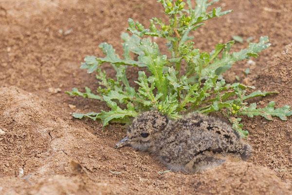 Kiebitz (Vanellus vanellus), Pulli, drückt sich bei Gefahr flach auf den Boden.