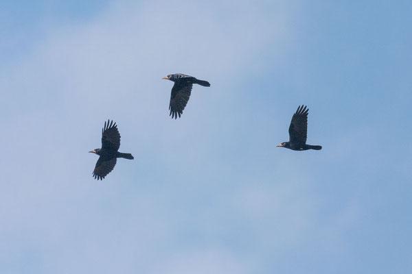 Saatkrähe (Corvus frugilegus)