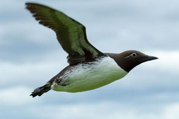 Eine fliegende Ringellumme (Uria aalge) auf der norwegischen Vogelinsel Hornøya.
