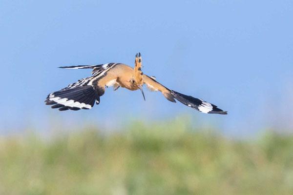 Wiedehopf (Upupa epops) im Flug