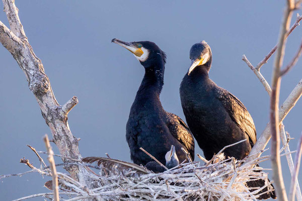 Kormoran (Phalacrocorax carbo), Paar im Nest mit Jungvogel