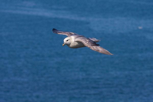 Eissturmvogel (Fulmarus glacialis) im Flug vor dem Helgoländer Lummenfelsen