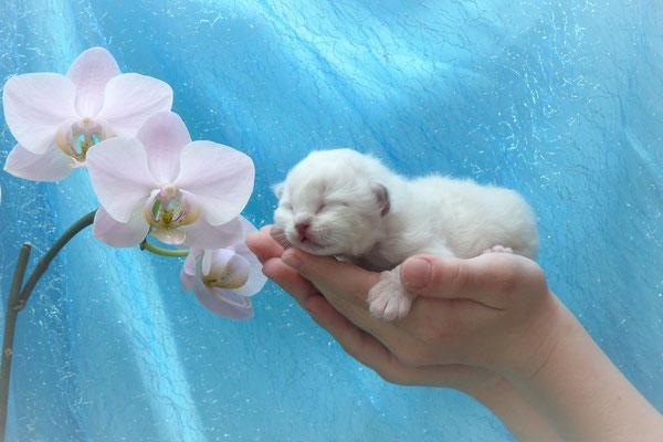 Filou von der Mondblume, 8 Tage alt