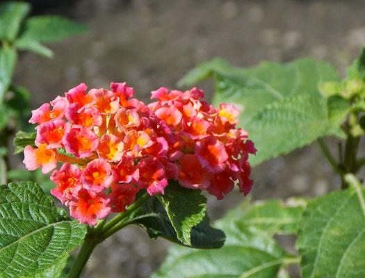 Flor, em Araruama.