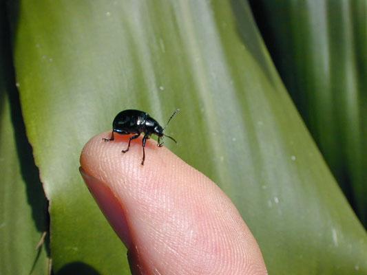 Pequeno besouro no dedo de Gerson.