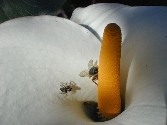 Numa flor de copo de leite uma abelha e um papa-mosca se enfrentam.