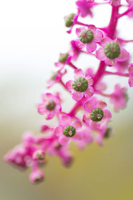 toujours la même jolie envahissante - photo nature bretagne esprit bulles de Vie @johannegicquel