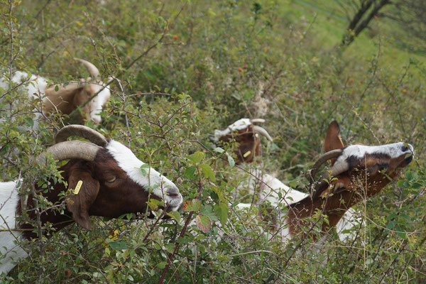 Ziegen am Wachtküppel in der Rhön