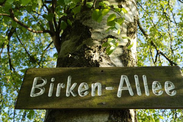 Birkenallee am Wachtküppel in der Rhön