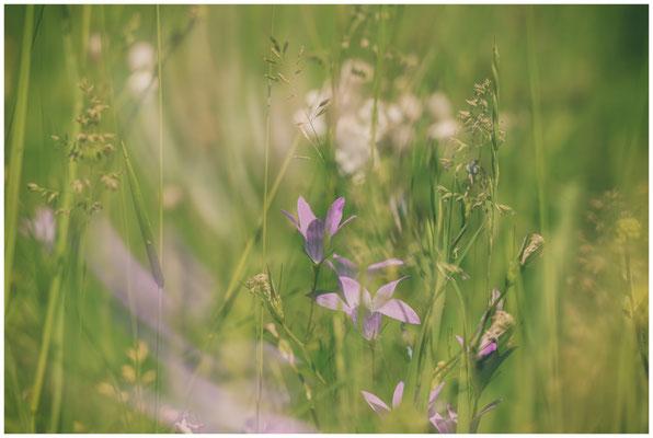 Sommerwiese mit Glockenblume 7495