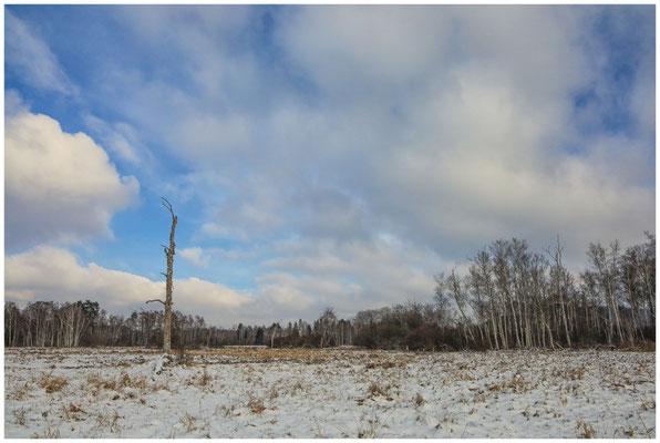 Landschaft mit Moorbirken im Pfrunger-Burgweiler Ried 5511