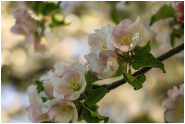 Apfelblüte 2685