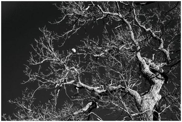 Baum mit Halbmond - sw 6375