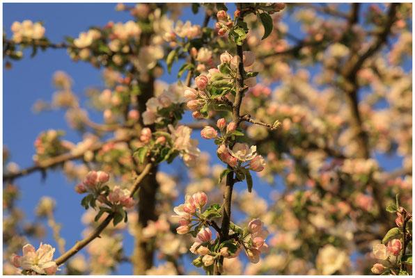 Apfelblüten vor blauem Himmel 2521