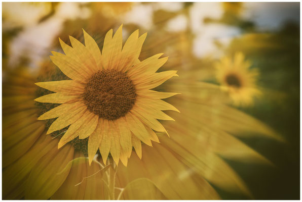 Sonnenblumen 0394