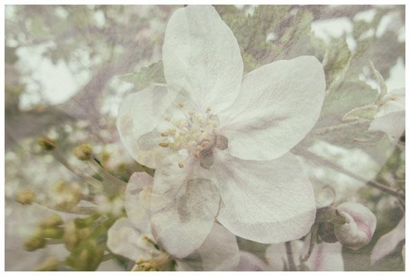 Apfelblüten auf einer Streuobstwiese bei Bermatingen 3501