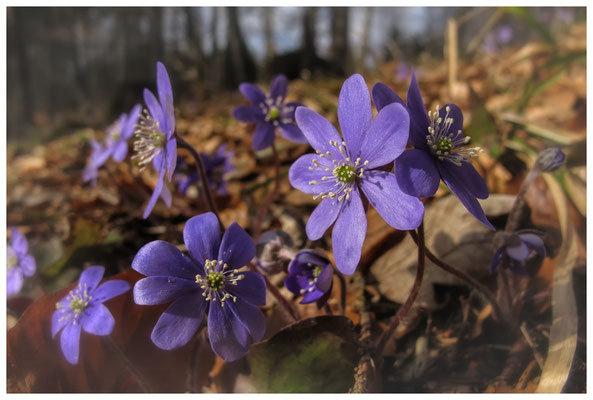 Leberblümchen 8682