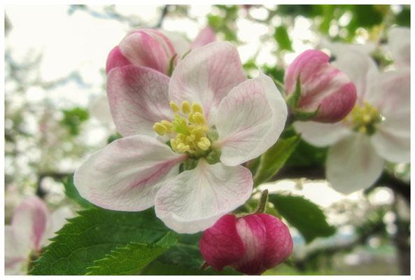 Apfelblüten auf einer Streuobstwiese bei Bermatingen 3475