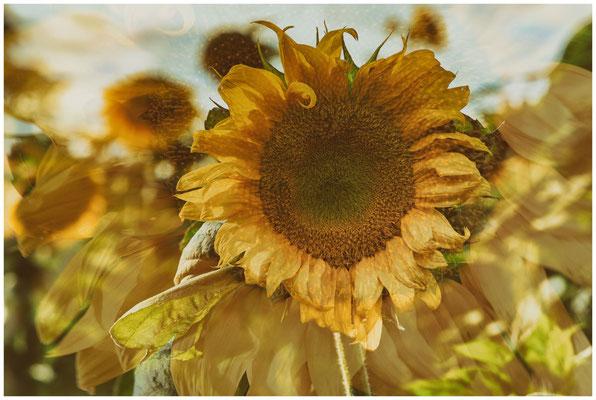 Sonnenblume 0297