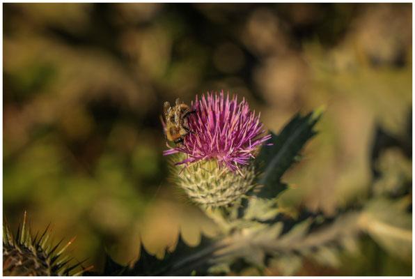 Distel mit Biene 4349