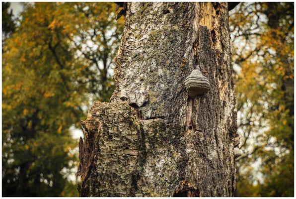 Totholz mit Baumpilz 8559
