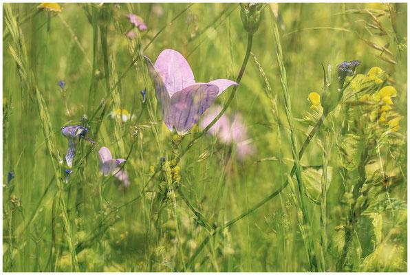 Sommerwiese mit Glockenblume und Kleiner Klappertopf 7520