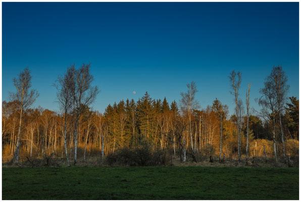 Bäume im letzten Sonnenlicht mit Mond 6738