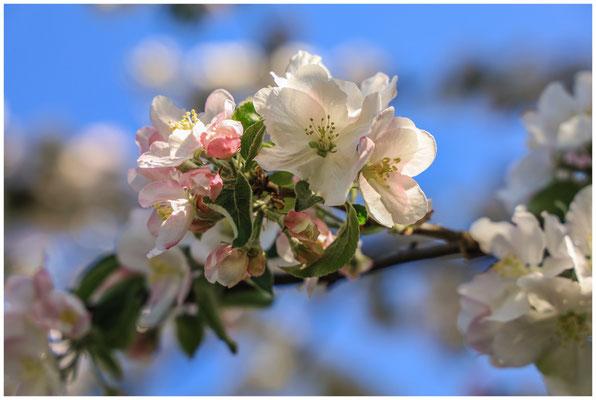 Apfelblüte 2673