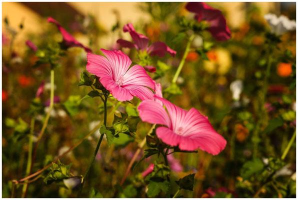 Malvenblüte 0646
