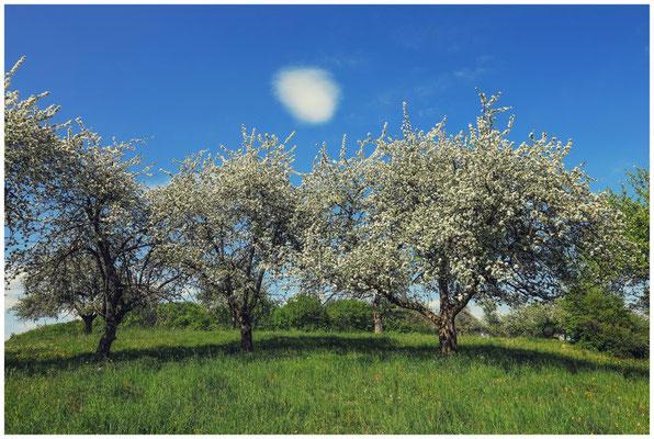 Blühende Apfelbäume 2692