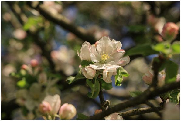 Apfelblüte 2440