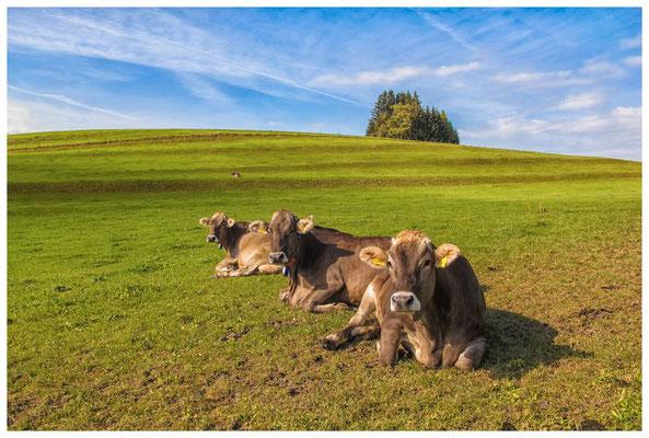 0761 Allgäuer Kühe