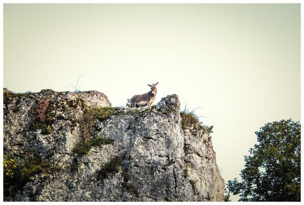 Wird es dem Esel zu wohl, geht er auf's Eis oder auf die Felsen... 4312