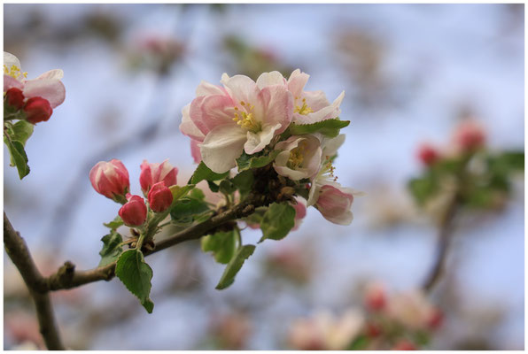 Apfelblütenzweig 2435
