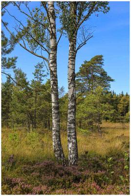 Moorbirken und Besenheide im Wurzacher Ried 3852