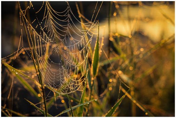 Spinnennetz mit Tautröpfchen 3532