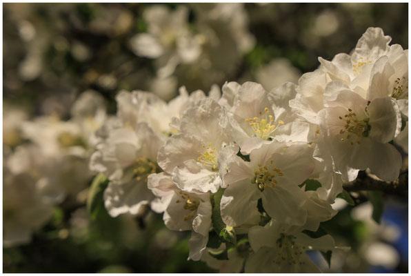 Apfelblüte 2650