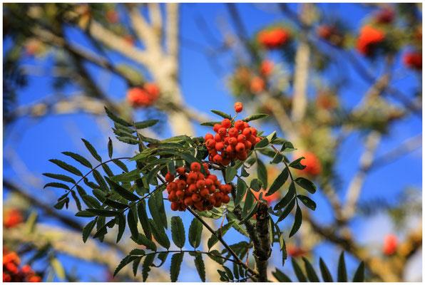 Rote Beeren der Eberesche 3687