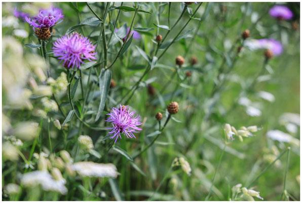 Weiße Lichtnelke und Flockenblume 0081