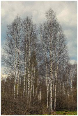 Moorbirken 6793