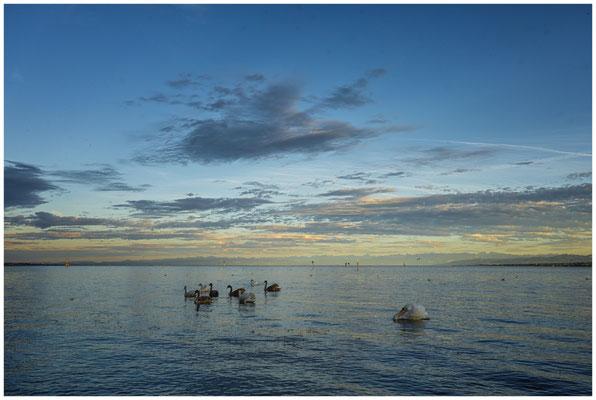 Schwäne auf dem Bodensee 0912