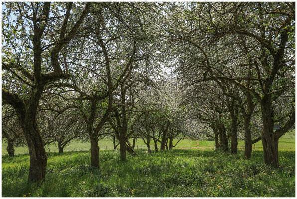 Streuobstwiese mit blühenden Apfelbäumen 2696
