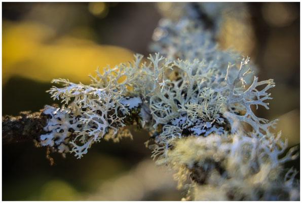 Cladonia portentosa - Strauchflechte 6350