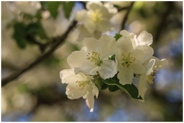 Apfelblüte 2653